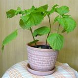 野菜 青ジソ鉢植え 45.jpg